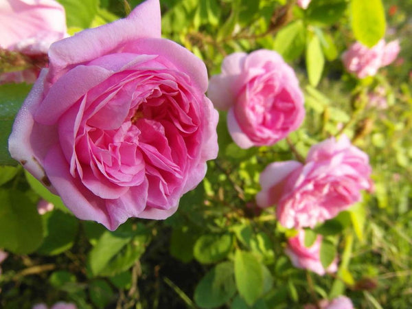 Pink French Rose *All Natural*