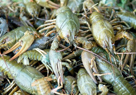Live Pacific Green Signal Crawfish