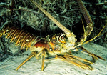 Live Pacific Spiny Lobster