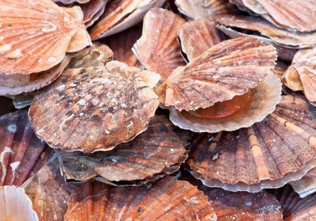Diver Scallops for Sale - Live Sea Scallops-In-The-Shell