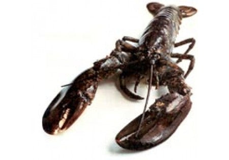 Live New England Homarus Lobster