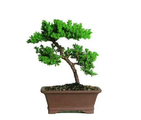 Brussel's Green Mound Juniper Bonsai