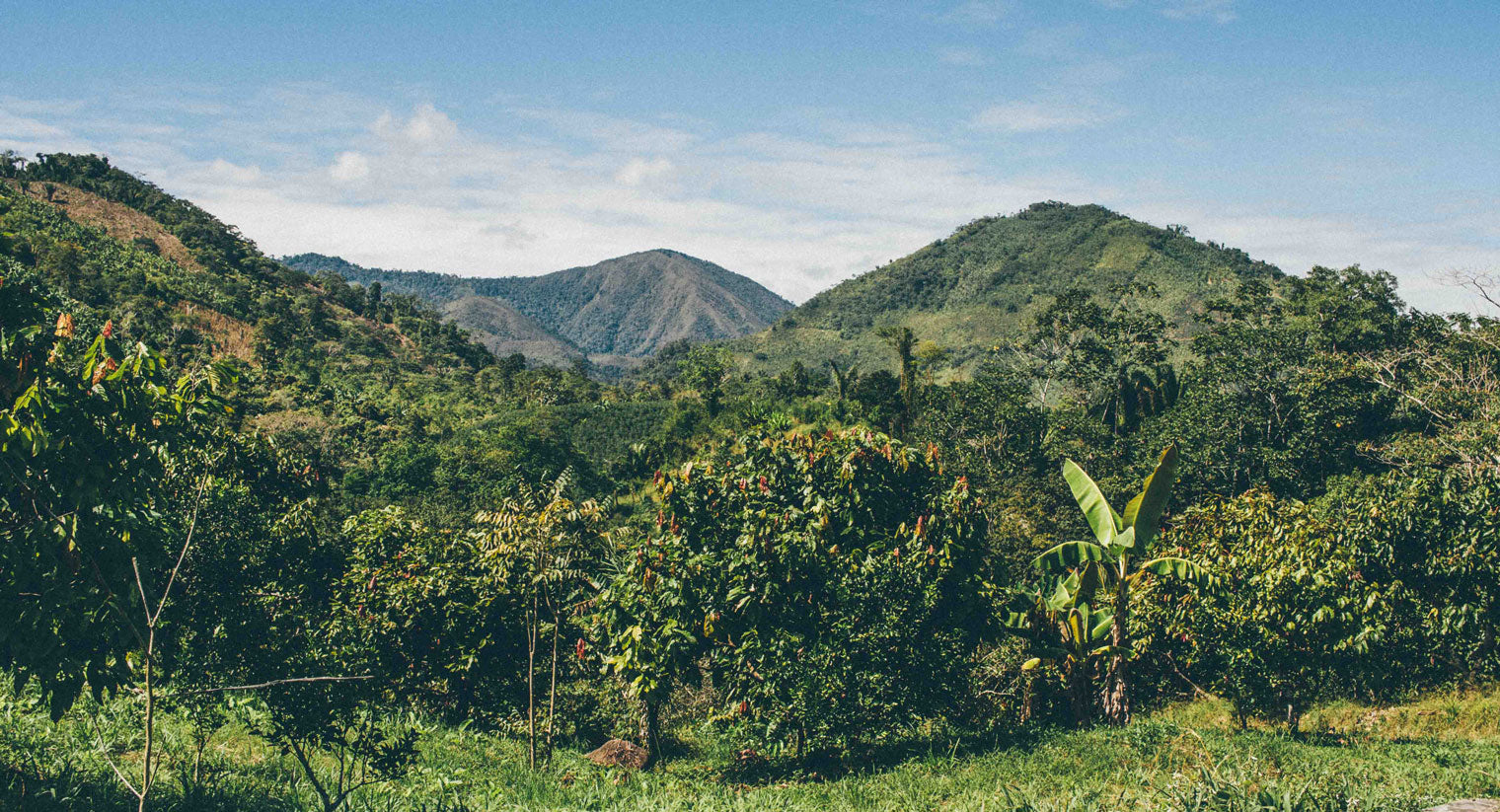 A landscape photo of Baleriamo B'ordora Muñoz's cacao agroforestry farm in Junín, Peru.