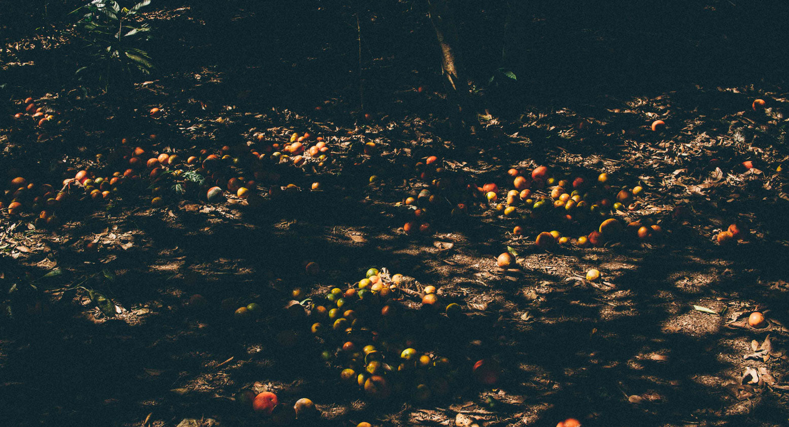 Citrus fruits on the ground on a farm in Peru.