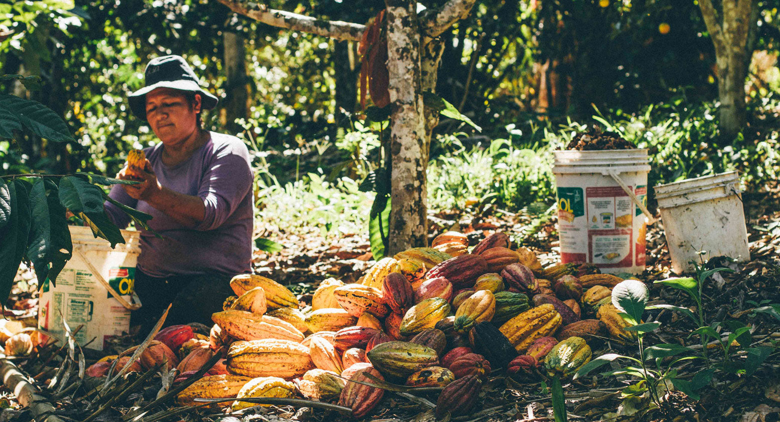 Marella Muñoz Maria harvests fresh cacao pods, taking the cacao beans out and placing them into a bucket.