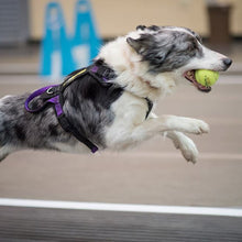 "Load image into Gallery viewer, Flyball Harness 1"" Webbing"