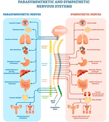 The autonomic nervous system includes the parasympathetic system which regulates sexual response and CBD for stress may help us move into the parasympathetic mode.