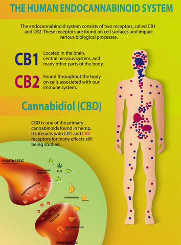 Understanding the endocannabinoid system and how it interacts with CBD oil, CBD gummies and CBD baked goods.