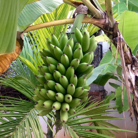 Banana bunch almost ready for harvesting