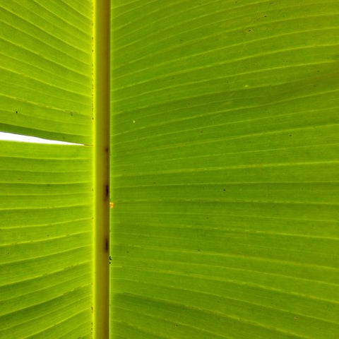 Close up of a banana plant leaf