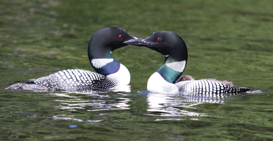The Love of Loons