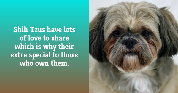 Shih Tzus have lots of love
