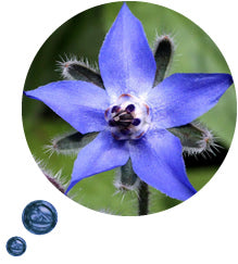 Borage oil contains all the nutrients needed to combat a dry flaky scalp without the use of harsh chemicals that can aggravate sensitive skin further