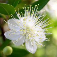 Lemon Myrtle reduces the growth of bacteria and also provides the only scent in this otherwise naturally unfragranced product