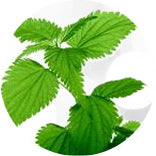 Nettle Leaf - Purepotions Skincare