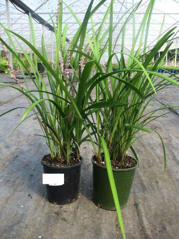 Liriope Evergreen Giant 140mm Pot