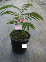 Albizia Julibrissin 200mm Pot