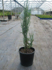 Juniperus Sky Rocket 200mm Pot