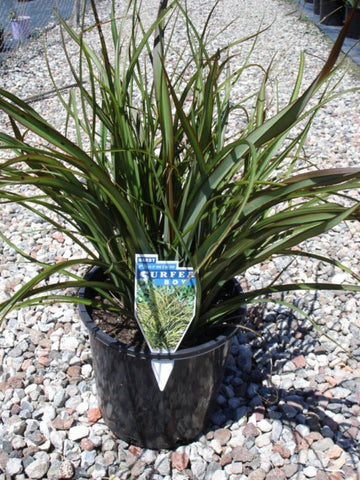 Phormium Surfer Boy 200mm Pot