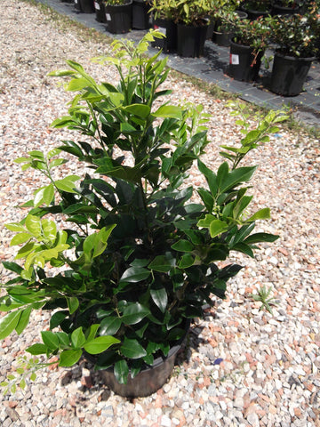 Murraya Paniculata (Orange Jasmine) 200mm Pot