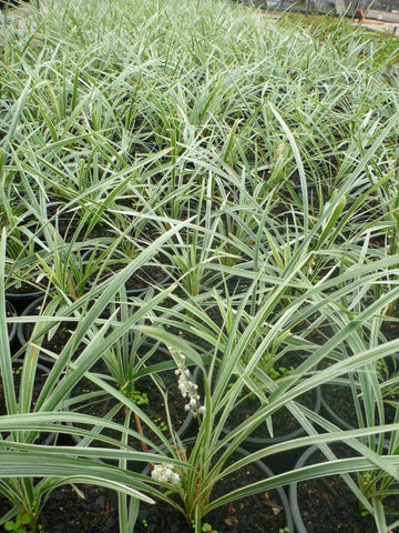 Liriope Stripey White 140mm Pot