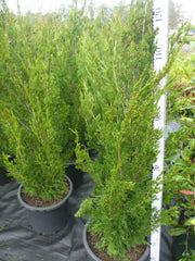 Juniperus Spartan Large 300mm Pot