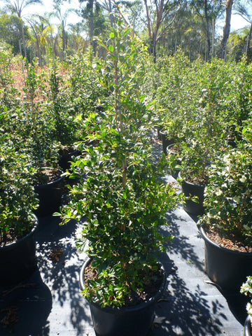 Syzygium Resilience Super Large 400mm Pot