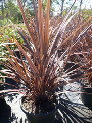 Cordyline Red Sensation 400mm Pot