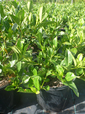 Gardenia Florida 200mm Pot
