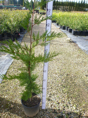 Leighton's Green Conifer 200mm Pot