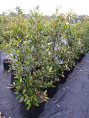 Elaeocarpus Reticulatus 45lt bag or Blueberry Ash Tree