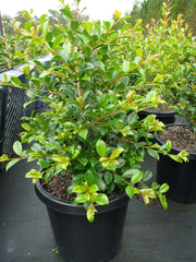 Syzygium Resilience Large 300mm Pot 25Lt