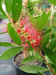 Callistemon Endevour 200mm Pot, Red Bottlebrush