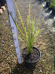 Cabbage Tree 200mm Pot Cordyline Australis