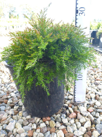BAECKEA VIRGATA DWARF OR Babingtonia bidwillii 140mm Pot