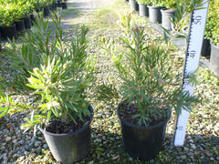 Callistemon Hannah Ray 200mm Pot