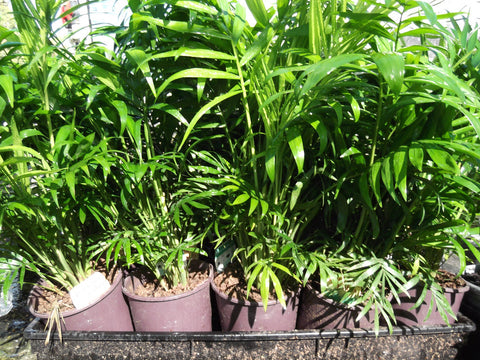 Parlour Palm 125mm Pot