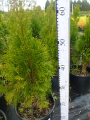 Thuja Occidentalis Smaragd 200mm Pots