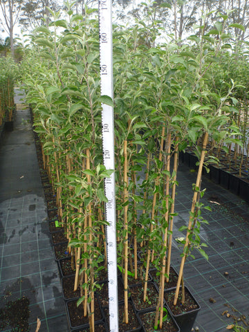 Apple Tree Grafted Bare Rooted or 180mm Square Pots