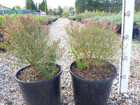 Melaleuca Claret Top 200mm Pot