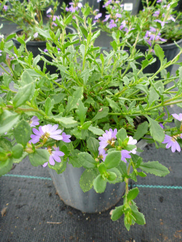 Scaevola Purple Fusion 140mm Pot