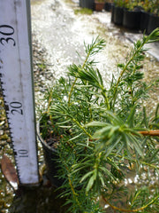 Juniperus Conferta 140mm Pot