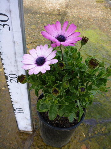 Osteospermum Passion Mixed 140mm Pot