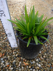 Agapanthus Peter Pan 140mm Pot