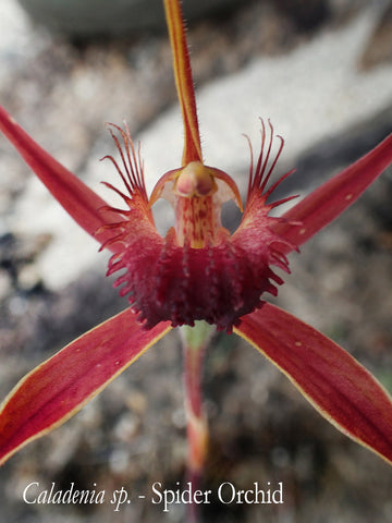 red spider orchid