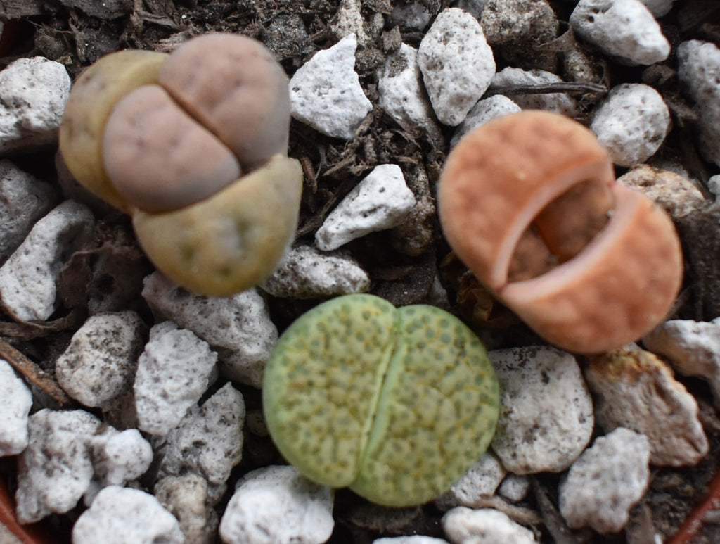 All About Butts........ I Mean All About Lithops