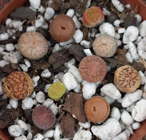 Lithop Collection (5 Live Lithops) Live Living Stone Succulent