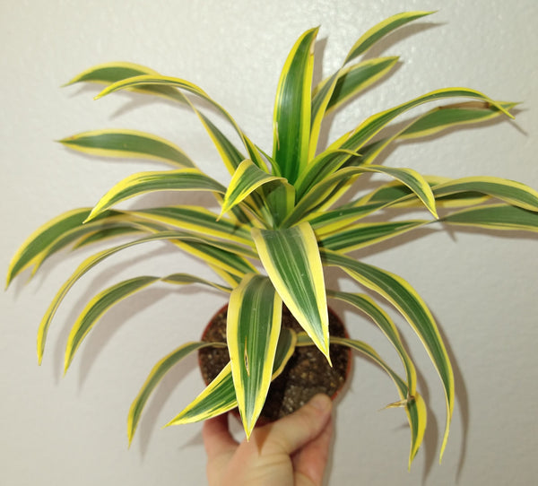 "Dracaena reflexa ""Song of India"" 4"" Live Houseplant"