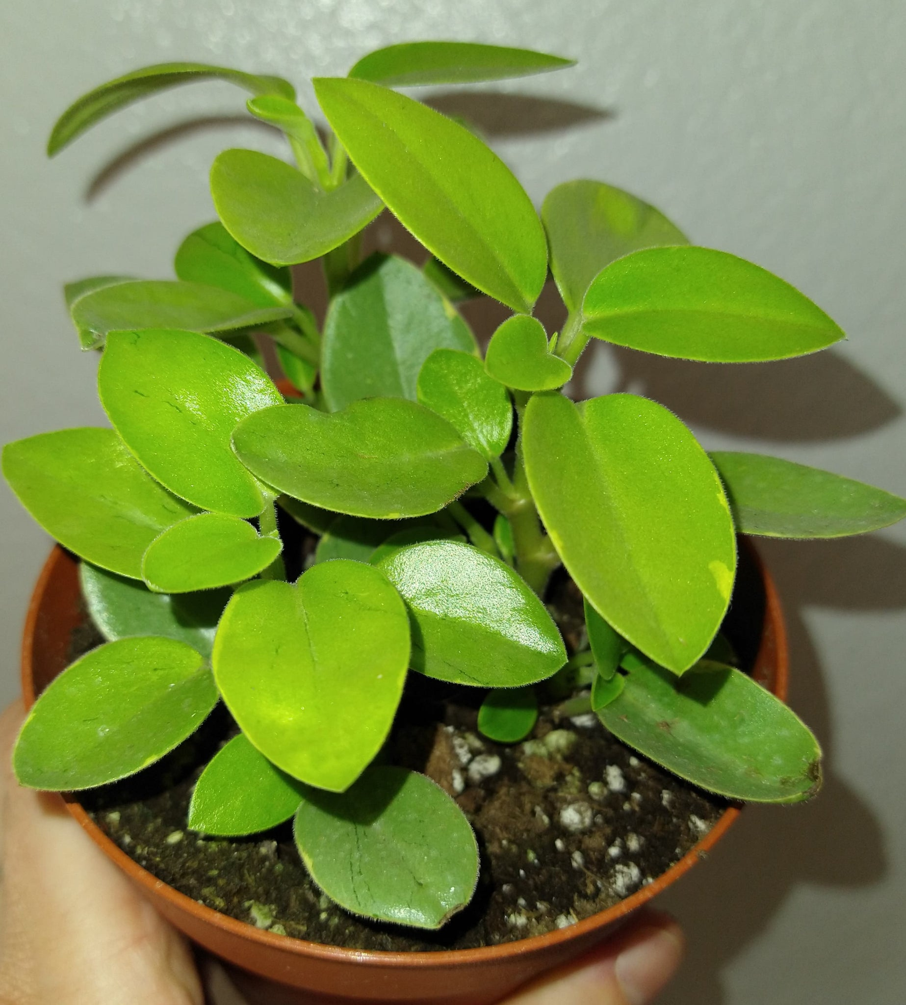 Peperomia Pixie Variegated 4 Inch Live Houseplant
