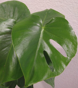 Monstera deliciosa aka Split Leafed Philodendron 6 Inch Live Houseplant
